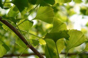 Гинкго билоба — полезный подарок природы
