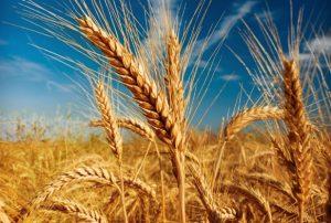 Избавить организм от всего ненужного под силу пшеничному отвару