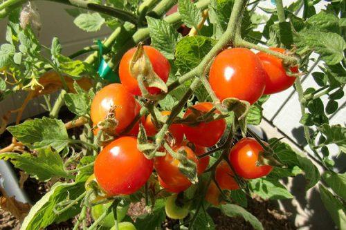 pomidori_teplica
