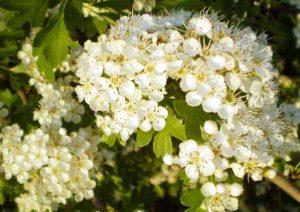 Цветы боярышника в настойке — домашний лекарь