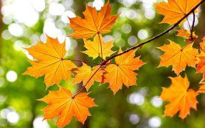 Лечебный отвар из кленовых листьев