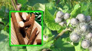 Настоянный лопушок — полезный листик и корешок