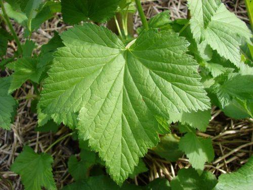 listja-smorodiny-1