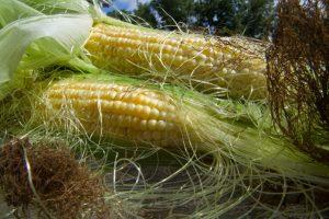 Кукурузные рыльца завари — жизнь продли