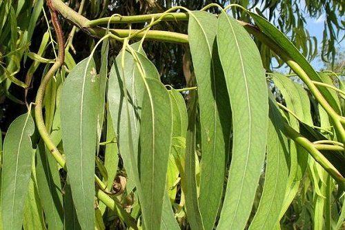 Листья эвкалипта - польза, применение для здоровья и красоты