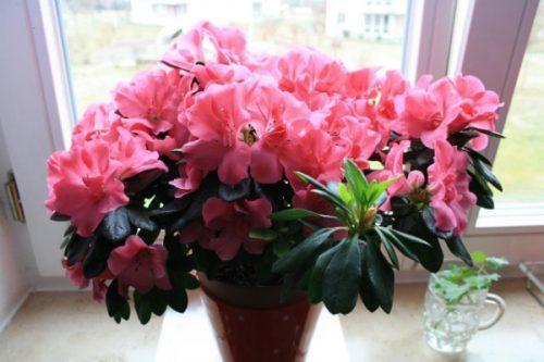 Свекольный отвар - друг сердцу и почкам, а также цветочкам