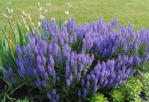 Шалфей — священная трава бессмертия